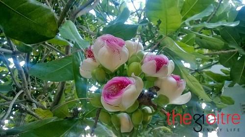 Đến đảo lý sơn chiêm ngưỡng vẻ đẹp kiêu hãnh của hoa bàng vuông